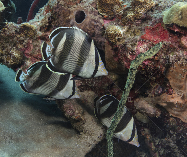 Trio of Banded butterflyfish
