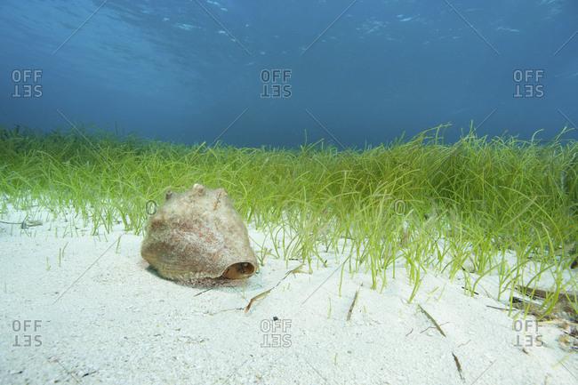 Conch on ocean floor