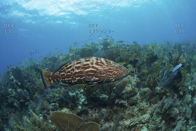 Large grouper in middle of coral reef scene