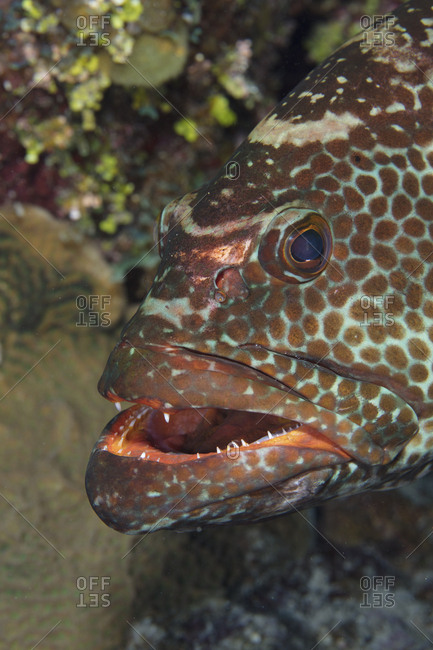 Close-up of Tiger grouper