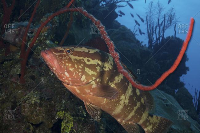 Nassau grouper in Little Cayman