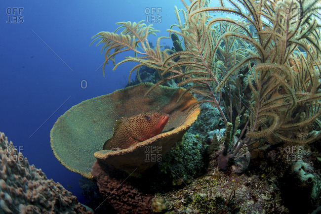 Red Hind peers from its' hiding spot in a sponge
