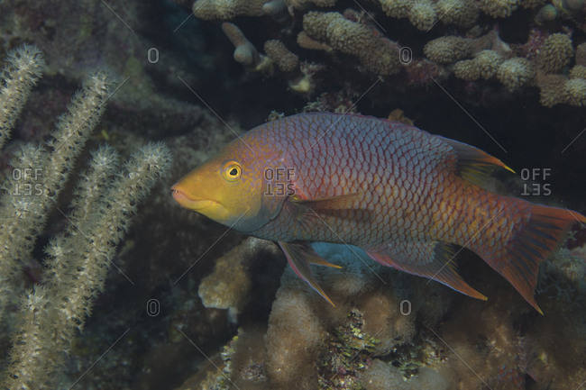 A wry look from a Spanish hogfish