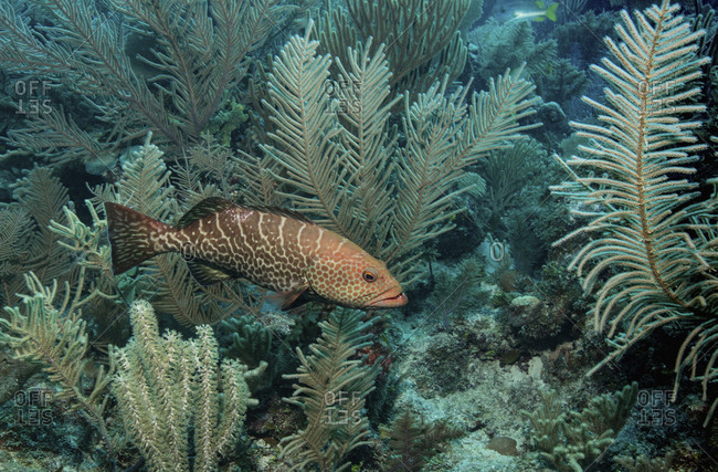 Tiger grouper on coral reef