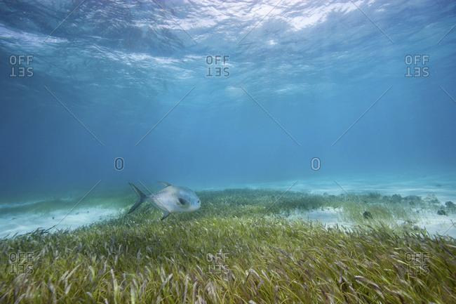 The sun illuminates a permit swimming over sea grass bed