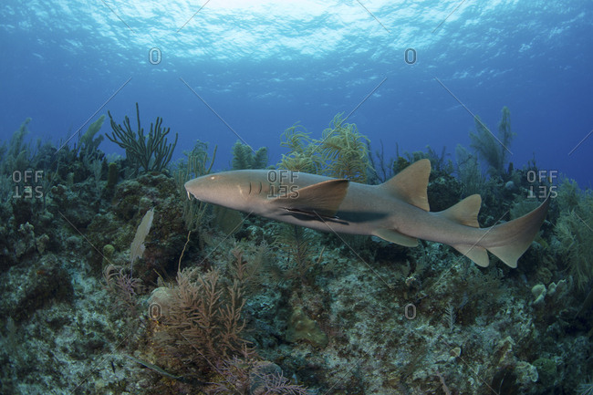 A nurse shark cruises over a reef in the Caribbean