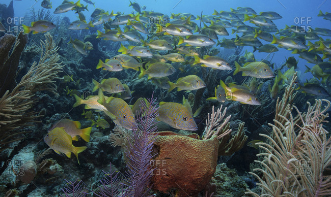 Reef scene with plethora of snappers and grunts