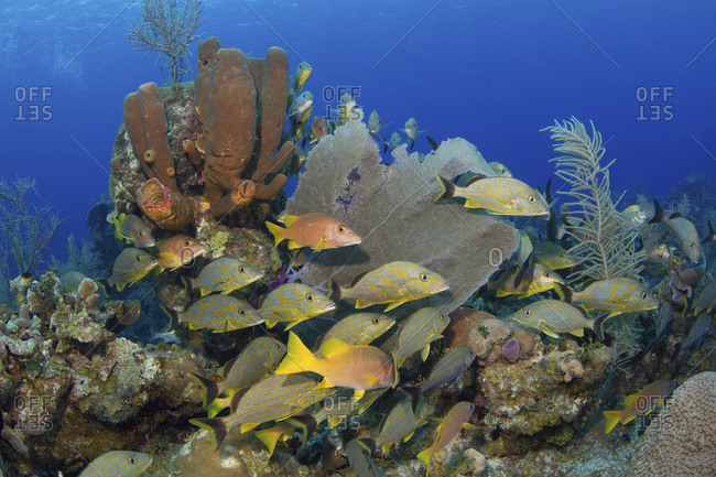 Reef scene with schooling fish, Little Cayman