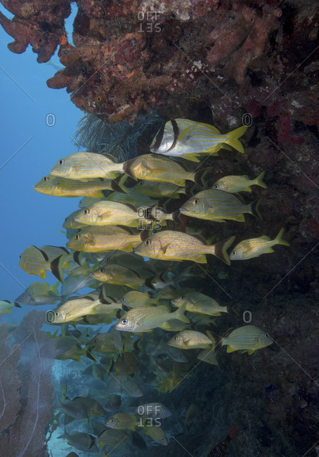 Schooling fish gather near the protection of a ledge on a coral reef in Key Largo