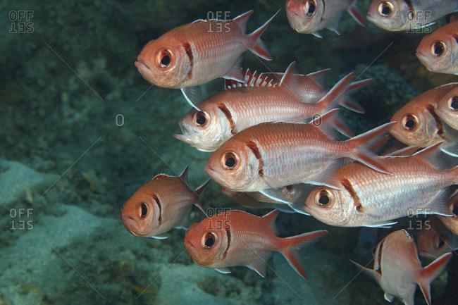 A school of Blackbar soldierfish in Dominica