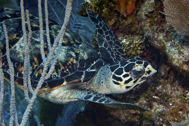 Hawksbill sea turtle, Cayman Islands