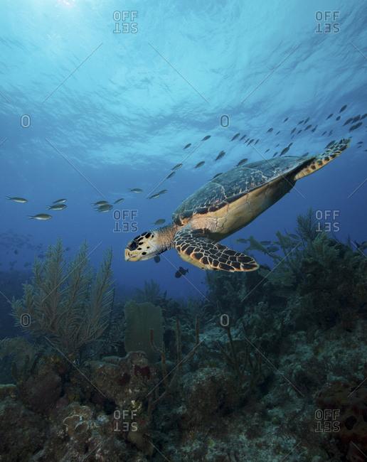 Hawksbill turtle swims across coral reef