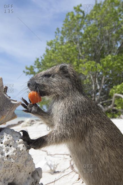 A Desmarest's hutia eats a piece of fruit on a sandy beach in Cuba