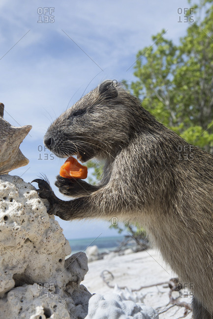 A Desmarest's hutia eats a piece of fruit on a sandy beach in Cuba