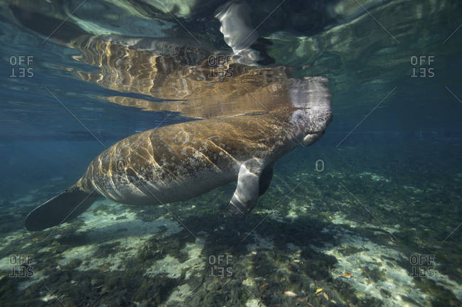 Swimming manatee skims the surface to breathe