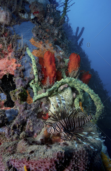 Invasive lionfish on reef in Dominica