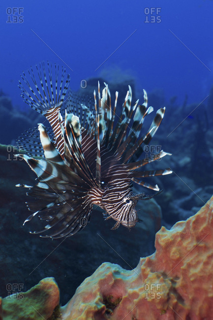 Invasive lionfish on reef in the Caribbean