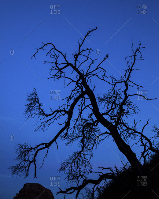 Leafless cottonwood tree silhouetted against evening sky