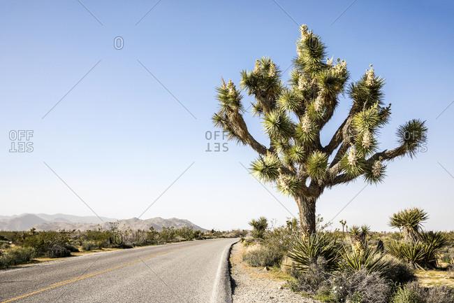 Joshua tree along road in California desert