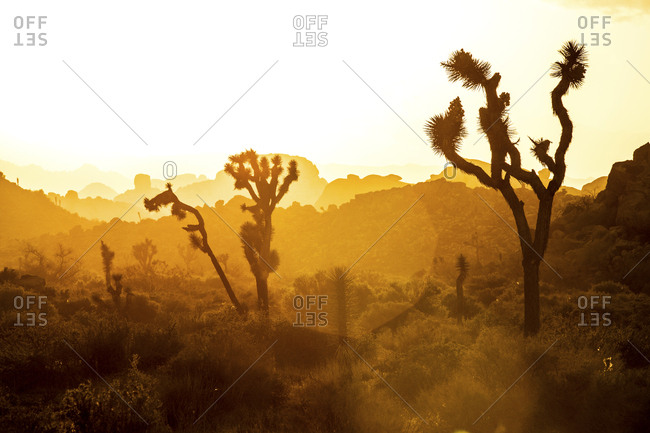 Silhouetted Joshua trees in desert at sunset