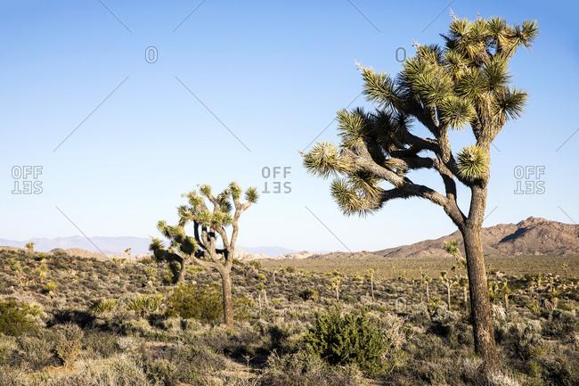 Joshua trees in the desert, California