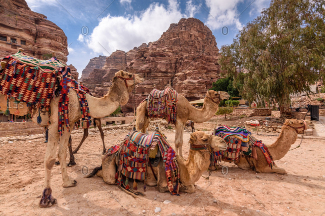Several camels at the ancient city of Petra in Jordan