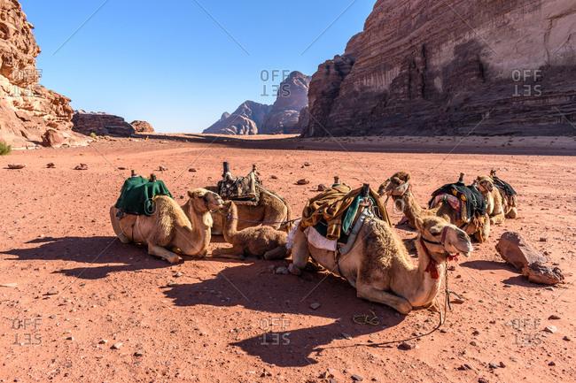 Camels resting on the sandy valley floor of Wadi Rum in Jordan