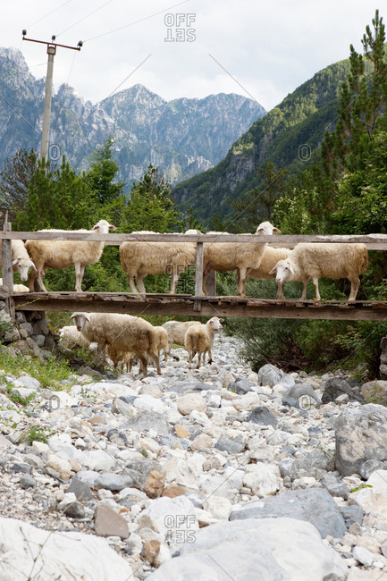 Flock of sheep crossing a bridge in the mountains
