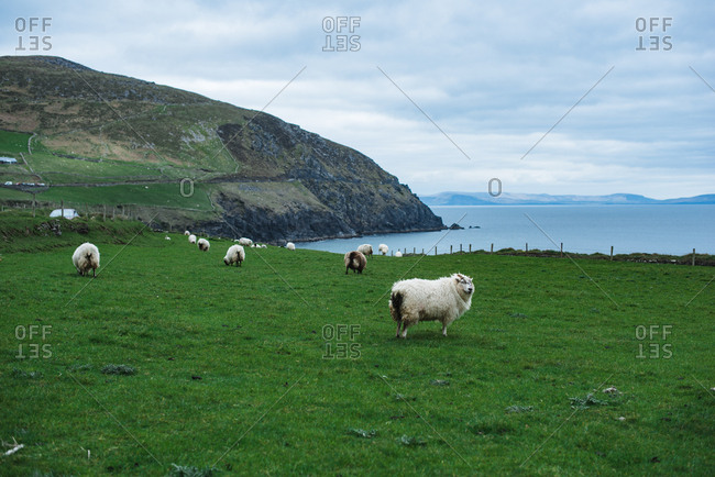 Sheep pasture in Ireland with cliffs and sea in the background