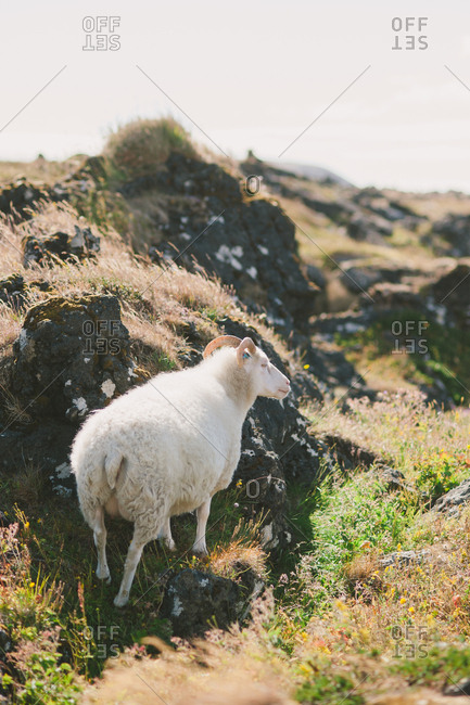 Sheep on volcanic rock in Iceland