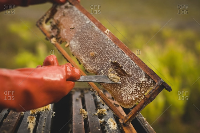 Close-up of male beekeeper scraping honey from honeycomb at apiary