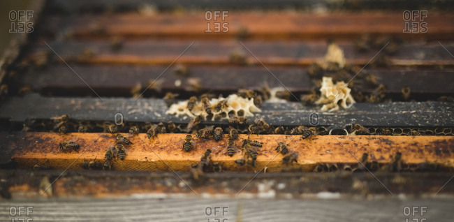 Close-up of bees on artificial honeycomb
