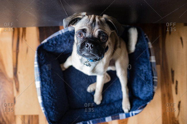 Portrait of a pug dog sitting in their bed and looking up