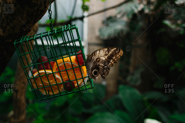 Butterfly eating fruit in feeder