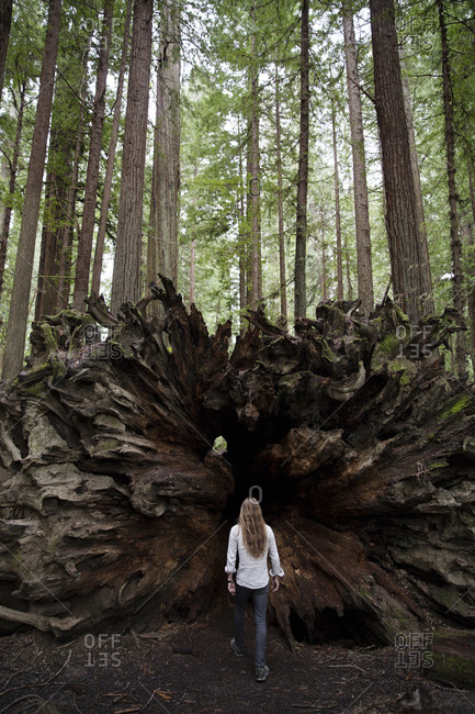 Man by tree trunk in redwood forest