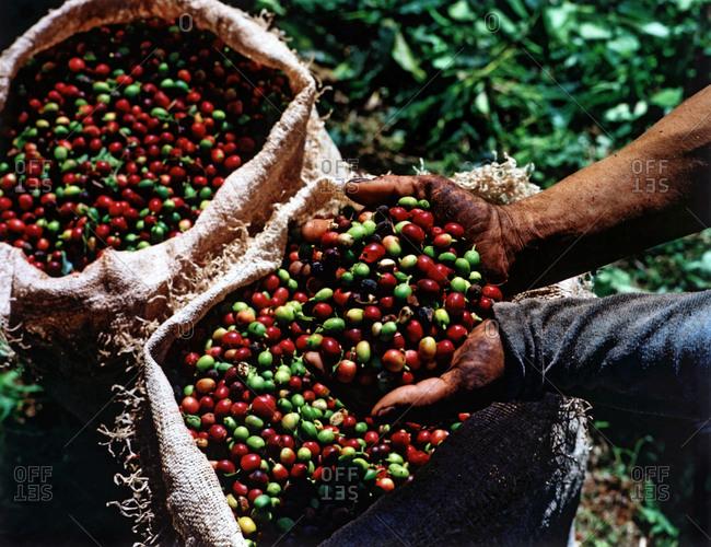 Freshly harvested cherry coffee, Brazil