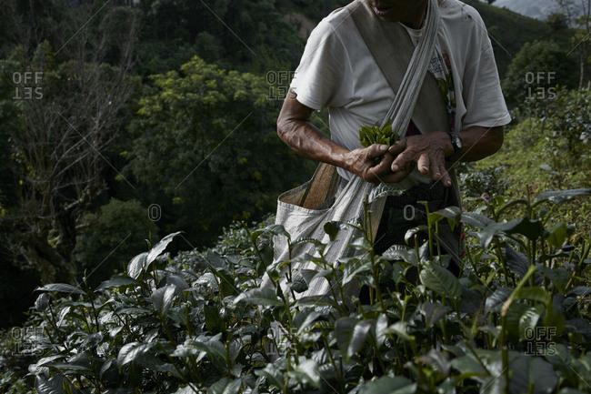 Namhsan, Myanmar - August 8, 2015: Man harvesting teat leaves