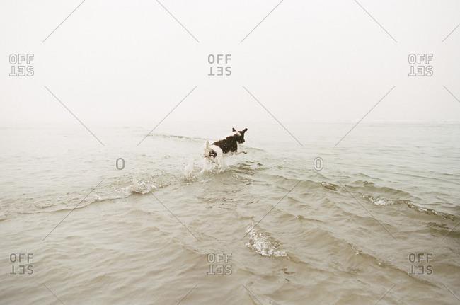 Dog running in an ocean