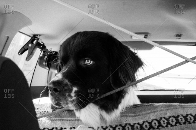 Dog looking over a car's seat
