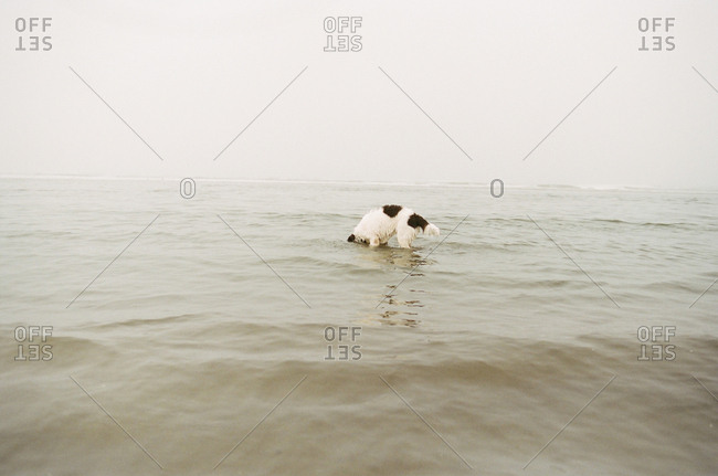 Dog with head in ocean water