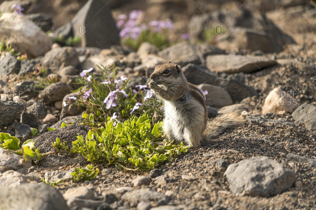 Spain- Canary Islands- Fuerteventura- Jandia Natural Park- Risco del Paso- Barbary ground squirrel