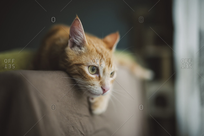 Ginger cat resting on backrest of couch