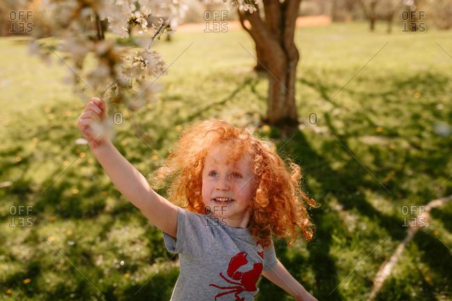 Child touching cherry tree blossoms
