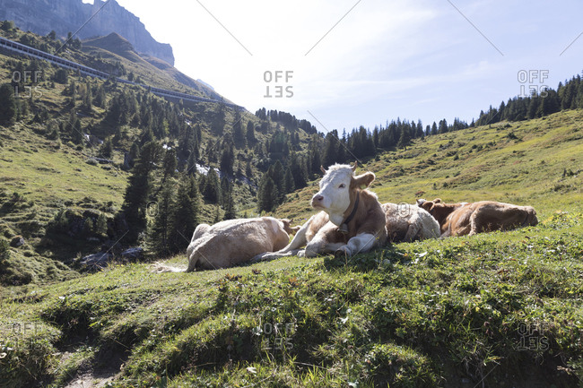 Cows relaxing on grassy hill