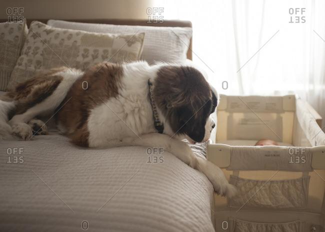 Saint Bernard sitting on bed by baby sleeping in crib