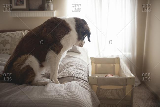 Saint Bernard looking baby sleeping in crib while sitting on bed