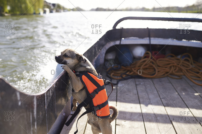 Dog Wearing Life Jacket In Standing On River Boat
