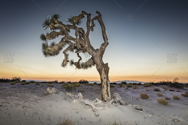 A Joshua tree in the sand of the Mojave Desert., California