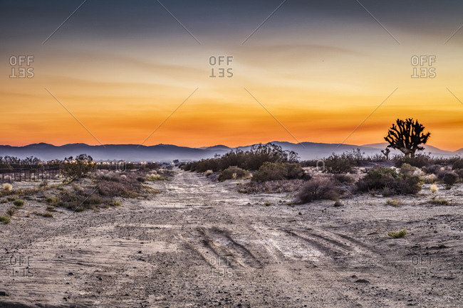 A Joshua tree on a dirt road in the Mojave Desert of California.