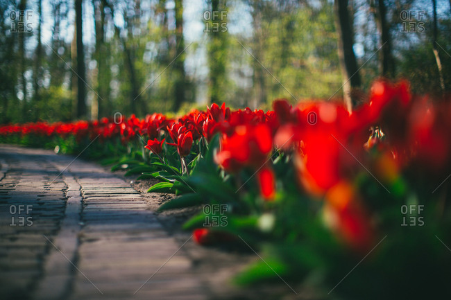 Tulips along a brick path